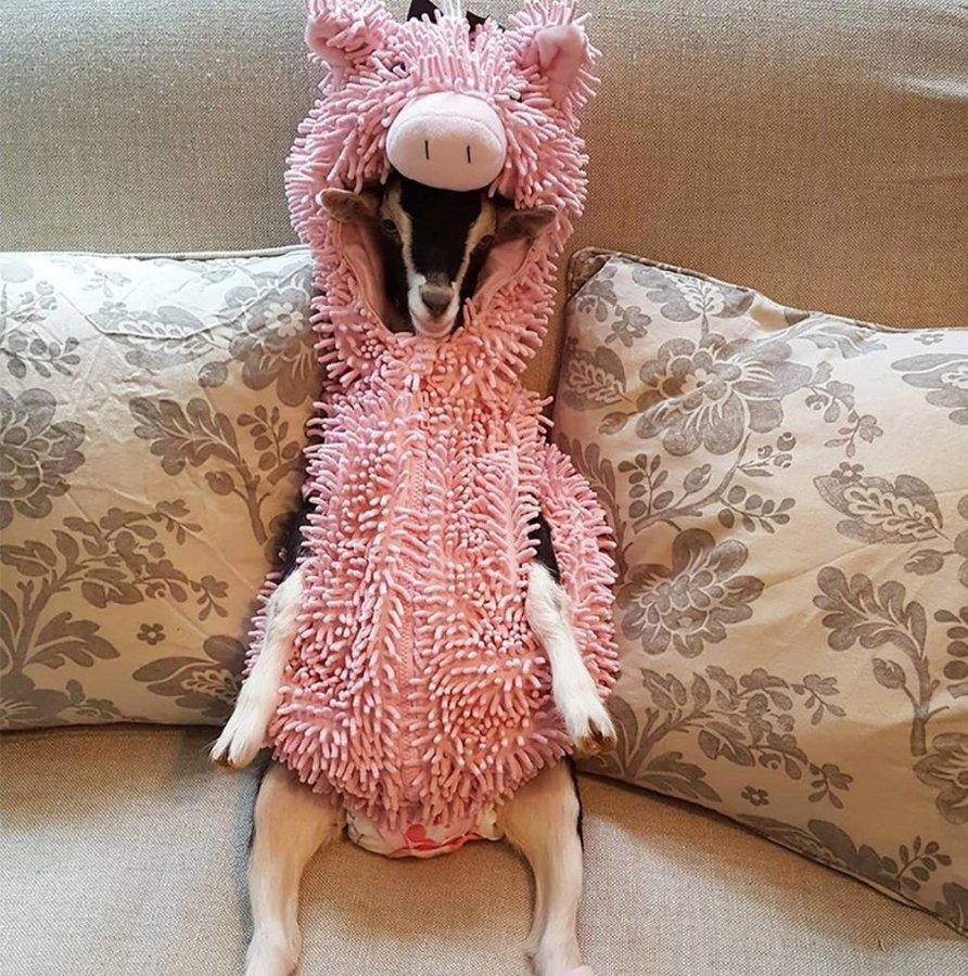 goat pig.jpg